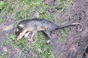 Anderson's four-eyed opossum - Image: Philander andersoni