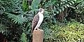 Philippine Eagle at the Philippine Eagle Center 003.jpg