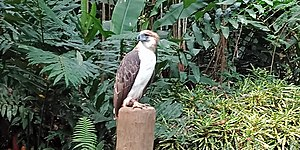 A Philippine Eagle at the Philippine Eagle Center in Davao. Roy Kabanlit