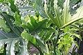 Philodendron selloum Hope 2zz.jpg