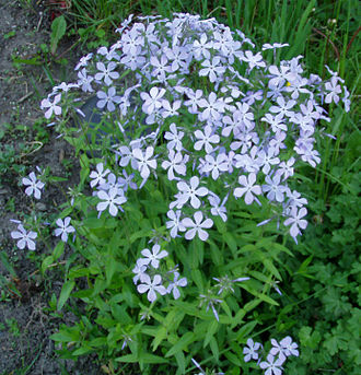 Phlox - Clump of woodland phlox (P. divaricata)