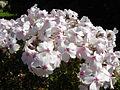 Phlox subulata 'Amazing grace' 5.JPG