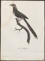 Phoenicophaus pyrrhocephalus - 1796-1808 - Print - Iconographia Zoologica - Special Collections University of Amsterdam - UBA01 IZ18800331.tif