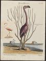 Phoenicopterus ruber - 1700-1880 - Print - Iconographia Zoologica - Special Collections University of Amsterdam - UBA01 IZ17600019.tif