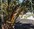 Phoenix canariensis A.jpg