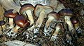 Pholiota velaglutinosa A.H. Sm. & Hesler 700211.jpg