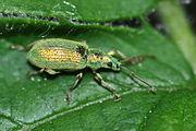 Phyllobius argentatus 2.JPG