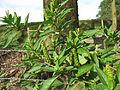 Phytolacca octandra plant10 (15109242010).jpg