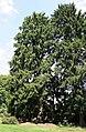 Picea abies 'Aurea' JPG1a.jpg