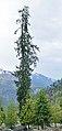 Picea smithiana - Solang Valley - Kullu 2014-05-10 2591.jpg