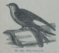 Picture Natural History - No 100 - The Swallow.png