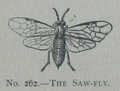 Picture Natural History - No 262 - The Saw-fly.png