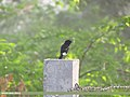 Pied Bush Chat (Saxicola caprata) (15892456601).jpg