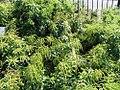 Pieris japonica Dorothy Wyck 0zz.jpg