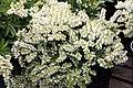 Pieris japonica var. yakushimanum Cavatine 4zz.jpg