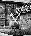 Pig, Beamish Museum, 7 April 2012.jpg