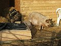 Pigs in the sunshine at Longframlington, Northumberland - geograph.org.uk - 688553.jpg
