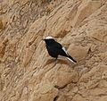 PikiWiki Israel 29160 Wildlife and Plants of Israel.JPG