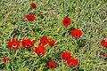 PikiWiki Israel 29274 Plants of Israel.JPG