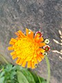 Pilosella aurantiaca (15439972385).jpg