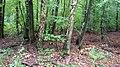 Pilze um die Birken - panoramio.jpg
