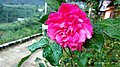 Pink Rose from Curug Muncar.jpg