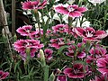 Pinks from Lalbagh flower show Aug 2013 8003.JPG