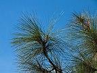 Pinus canariensis - Jardín Botánico Canario Viera y Clavijo - Gran Canaria.jpg