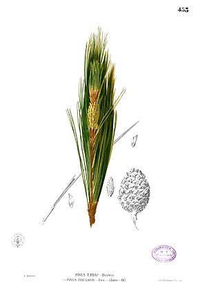 Pinus kesiya - Image: Pinus kesiya Blanco 2.453