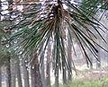 Pinus peuce foliage2.jpg