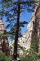 Pinus ponderosa Kasha-Katuwe Tent Rocks.jpg