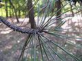 Pinus thunbergii2.jpg