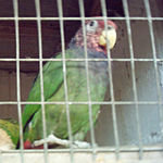 A green parrot with a blue collar and a red head with white speckles