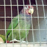 Pionus tumultuosus -La Merced Zoo-2a-2