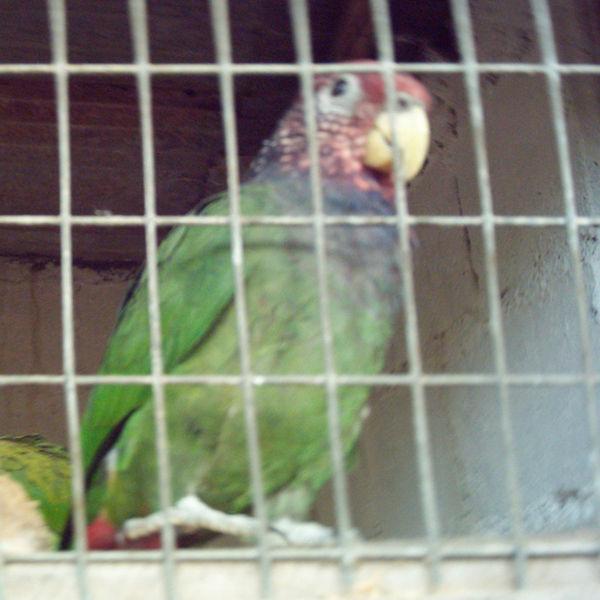Ficheiro:Pionus tumultuosus -La Merced Zoo-2a-2.jpg