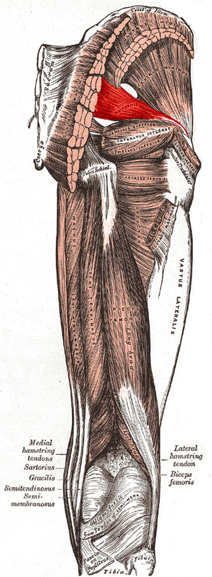 Muscles of the gluteal and posterior femoral r...