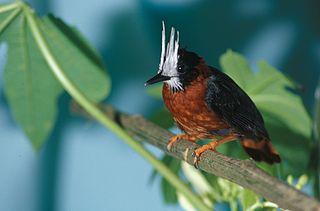 White-plumed antbird Species of bird