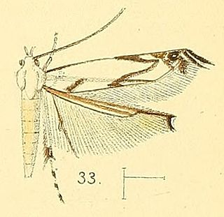 <i>Thiotricha</i> genus of insects