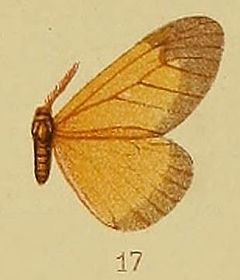 Pl.40-fig.17-Staphylinochrous euryperialis Hampson, 1910.JPG