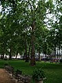 Plane Tree - geograph.org.uk - 935148.jpg