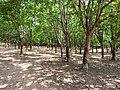 Plantação de Seringueira - panoramio.jpg