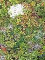 Plantes, fruits et lichen à Port-au-Persil.jpg