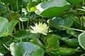 Plantes aquatiques-Jardins de Callunes (4).jpg