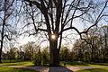 Platane, Schlosspark Biebrich, 160407, ako.jpg