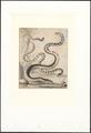 Platurus fasciatus - 1767 - Print - Iconographia Zoologica - Special Collections University of Amsterdam - UBA01 IZA1000453.tif