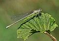Platycnemis pennipes qtl5.jpg
