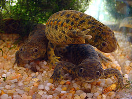 Ribbensalamanders in een aquarium.