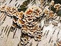 Plicaturopsis crispa 55896334.jpg