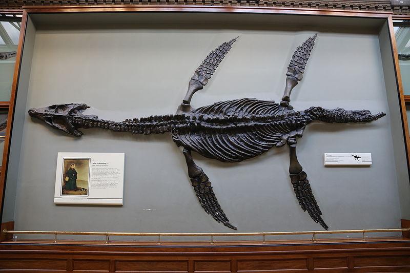 File:Pliosaur, Rhomaleosaurus camptoni, Natural History Museum, London.JPG