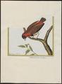 Ploceus oryx - 1700-1880 - Print - Iconographia Zoologica - Special Collections University of Amsterdam - UBA01 IZ15900087.tif